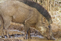 Indian Boar drinking, Tadoba Andheri Tiger Reserve, India. by Danita Delimont