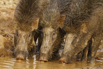 Trio of Indian Boars drinking water in the waterhole, Tadoba... by Danita Delimont