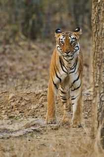 Royal Bengal Tigress near waterhole, Tadoba Andheri Tiger Re... by Danita Delimont
