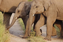Young Indian Asian Elephants, Corbett National Park, India. by Danita Delimont