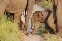 Young one of Indian Asian Elephant, walking in the herd, Cor... von Danita Delimont