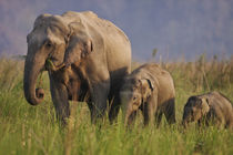 Indian Asian Elephant, mother and calves, Corbett National P... by Danita Delimont