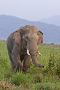 Indian Asian Elephant, male, in the savannah, Corbett Nation... von Danita Delimont