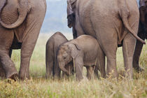 Indian Asian Elephant, Corbett National Park, India. von Danita Delimont