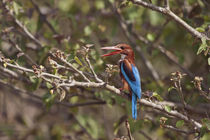 White Throated Kingfisher, Corbett National Park, India. von Danita Delimont