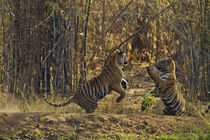 Royal Bengal Tigers, play fighting, Tadoba Andheri Tiger Res... by Danita Delimont