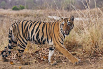 Royal Bengal Tiger, in the summer grassland, Tadoba Andheri ... von Danita Delimont