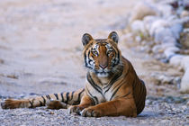 Royal Bengal Tiger on the riverbed of Ramganga river, Corbet... by Danita Delimont