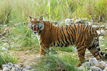 Royal Bengal Tiger snarling, on the riverbed of Ramganga riv... von Danita Delimont