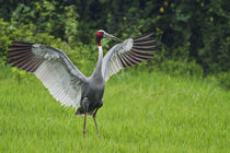 Indian Saras Crane, stretching wings, Keoladeo National Park, India. von Danita Delimont