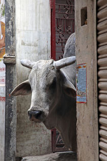 Holy Cow of Varanasi by Danita Delimont