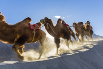 Bactrian or double humped camels, Nubra Valley, Ladakh, India by Danita Delimont