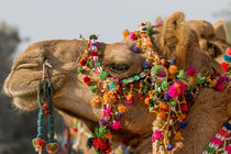 Camels decorated for festival von Danita Delimont