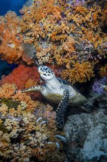 Hawksbill Turtle von Danita Delimont