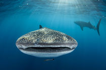 Whale Shark by Danita Delimont