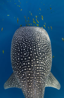 Whale Shark & Golden Trevally von Danita Delimont