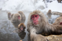 Japanese macaque, Snow monkey, Joshin-etsu National Park, Honshu by Danita Delimont