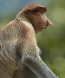 Female Proboscis monkey, Sabah, Malaysia von Danita Delimont