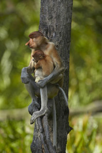 Proboscis monkey with baby, Sabah, Malaysia by Danita Delimont