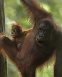Mother Orangutan and baby, Sabah, Malaysia by Danita Delimont