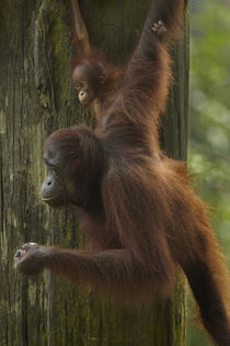 Mother Orangutan and baby hanging from a tree, Sabah, Malaysia by Danita Delimont