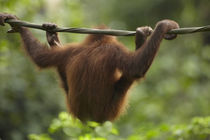 Baby Orangutan, Sabah, Malaysia by Danita Delimont
