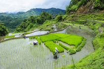 People harvesting in the rice terraces of Banaue, Unesco Wor... by Danita Delimont