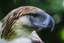 Philippine Eagle, also known as the Monkey-eating Eagle, Dav... von Danita Delimont