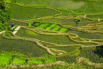Unesco World Heritage Site, Rice Terraces of Banaue, Norther... by Danita Delimont