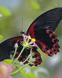 Scarlet Mormon butterfly Philippines by Danita Delimont