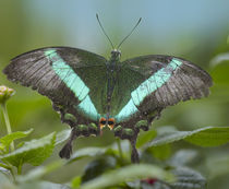 Emerald Swallowtail butterfly Philippines von Danita Delimont