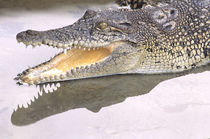 Saltwater crocodile, also known as estuarine crocodile, gaping von Danita Delimont