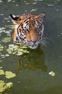 Tigers in water von Danita Delimont