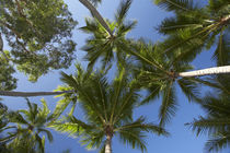 Palm Trees, Palm Cove, Cairns, North Queensland, Australia von Danita Delimont