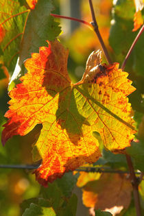 Autumn Vine Leaf, vineyard, near Bright, Victoria, Australia by Danita Delimont