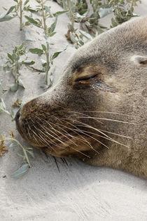 Australian Sea Lion, Australia by Danita Delimont