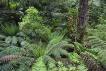 Tree Fern in the Great Otway NP, Australia by Danita Delimont