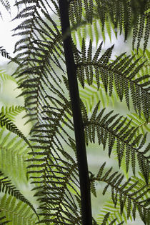 Tree Fern in the Great Otway NP, Australia von Danita Delimont