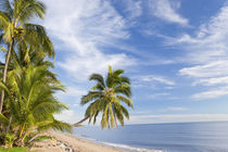 Hanging palm tree, Holloways Beach, nr Cairns, Queensland, Austr by Danita Delimont