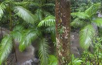 Tropical rainforest, Mossman Gorge Daintree National Park North von Danita Delimont