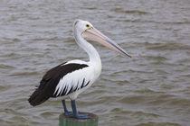Australia, Fleurieu Peninsula, Goolwa, Australian pelican, p... by Danita Delimont