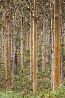 Southwest Australia, Karridale, Boranup Kari Forrest by Danita Delimont