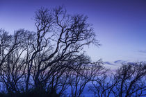 Southwest Australia, Prevelly, Surfers Point, tree silhouettes, dusk von Danita Delimont