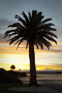 Sunset, Nelson, South Island, New Zealand, palm tree at sunset von Danita Delimont
