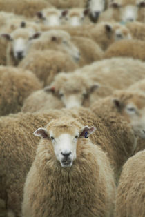 Mob of sheep, Catlins, South Otago, South Island, New Zealand by Danita Delimont