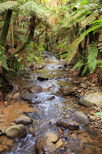 The beautiful rainforest scenery of the Kauri Lookout Trail ... by Danita Delimont