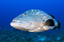 Black Grouper by Danita Delimont