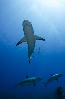 Caribbean Reef Shark by Danita Delimont