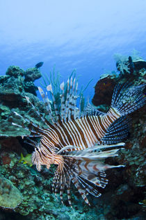 Red Lionfish von Danita Delimont