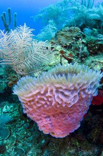 Azure Vase Sponge by Danita Delimont